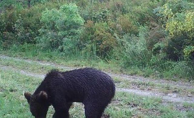 A presenza do oso pardo en Ourense reforza o seu hábitat en Galicia