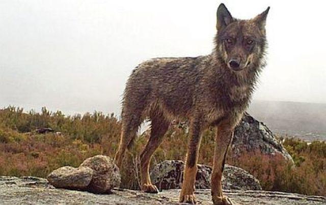 Prohibida a caza do lobo en España, malia a oposición da Xunta